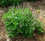 TULSI (Holy Basil) SEED SET (3 seed packets): Rama Tulsi, Vana Tulsi & Temperate Tulsi, organic