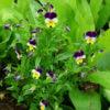 Edible Flowers Seed Collection: Bean, Hopi yellow; Borage; Calendula, orange; Nasturtium, jewels; Love in the mist; Shungiku; Violet, heartsease, Organic