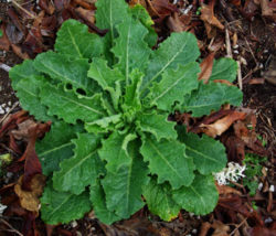 Lettuce, Wild (Lactuca virosa), packet of 100 seeds, organic