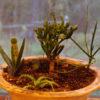 Pencil Tree (Euphorbia tirucalli) potted tree, organic