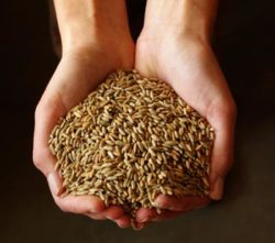 Rye, Winter (Secale cereal) Cover Crop Seeds, By the Pound, Organic