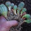 Hoodia gordonii, packet of 5 seeds