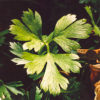 Parsley, Italian (Petroselinum crispum), packet of 300 seeds, organic