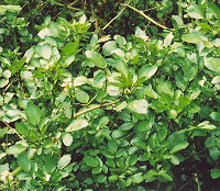 Watercress (Nasturtium officinale), packet of 200 seeds