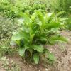 Achira (Canna edulis), potted plant, organic