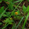 Spilanthes, Kenyan (Acmella calirrhiza), potted plant, organic