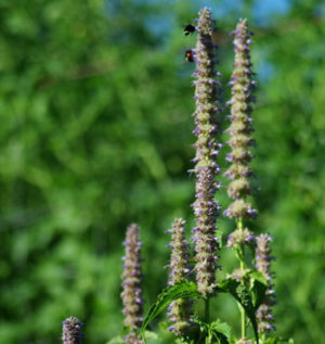 Mint, Licorice (Agastache foeniculum), potted plant, organic