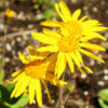 Arnica montana potted plant, organic
