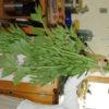 Ashitaba (Angelica keiskei koidzumi) potted plant, organic