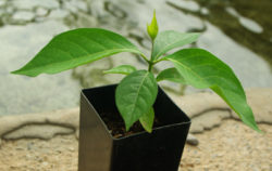 Ayahuasca (Yage) (Banisteriopsis caapi), Ourinhos, Potted Vine, Organic