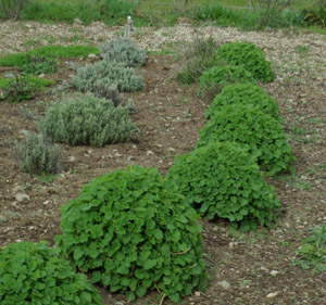 Horehound, Black (Ballota nigra), potted plant, organic ON SALE!