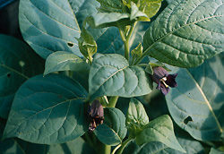 Belladonna, Official* (Atropa belladonna) potted plant, organic