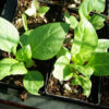 Belladonna, Official* (Atropa belladonna) potted plant, organic