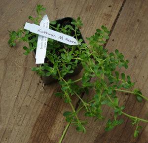 Brahmi (Bacopa monnieri) potted plant, organic