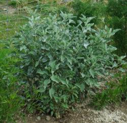 Brittlebush (Encelia farinosa) potted plant, organic, top size