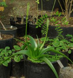 Bulbine, Natal (Bulbine natalensis) plant, organic