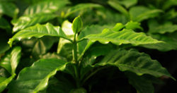 Coffee Bush (Coffea arabica var. typica), Ethiopian type, seedling, organic