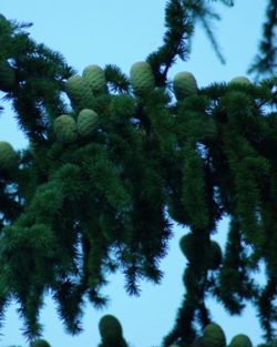 Cedar of Lebanon (Cedrus libani) potted tree