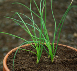 Chives, English (Allium schoenoprasum) potted plant, organic