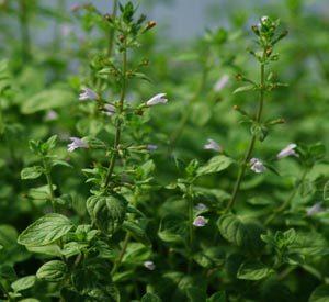Calamint, Showy (Clinopodium grandiflorum) potted plant