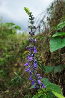 Coleus forskohlii, potted shrub, organic