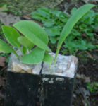 Comfrey, Russian (Symphytum x uplandicum) potted plant, organic