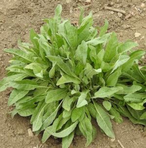 Costmary (Tanacetum balsamita), potted plant, organic