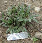Echinacea angustifolia potted plant, organic