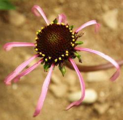 Echinacea laevigata (Smooth Purple Coneflower) potted plant, Organic