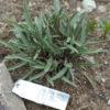 Echinacea pallida potted plant, organic