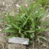 Echinacea paradoxa potted plant, organic