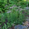 Echinacea sanguinea potted plant, organic