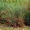 Ephedra, Bluestem (Ephedra equisetina) potted plant, organic