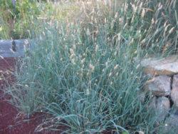 Grass, Phalaris (Phalaris aquatica), potted plant, organic