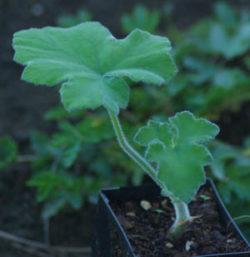 """Geranium, Scented """"Peppermint"""" (Pelargonium tomentosum) potted plant, organic"""