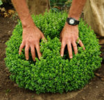 Basil, Greek* (Ocimum minimum), potted plant, organic