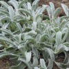 Greek Mountain Tea (Sideritis syriaca) potted plant, organic