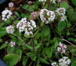 Valerian, Indian (Valeriana jatamansii) potted plant, organic