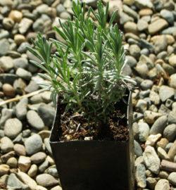 Lavender, Munstead (Lavandula angustifolia) potted plant, organic