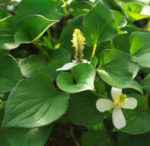 Chameleon plant (Houttuynia cordata) potted plant, organic