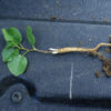 Licorice, Official (Glycyrrhiza glabra) potted plant, organic