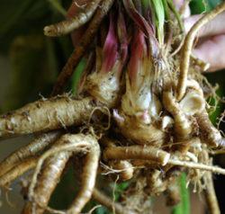 Elecampane (Inula helenium) potted plant, organic