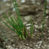Ma-huang (Ephedra sinica) potted plant, organic