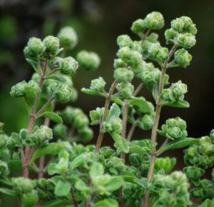 Marjoram, Sweet (Origanum majorana) potted plant, organic