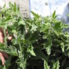 Marshmallow (Althaea officinalis) potted plant, organic