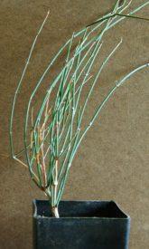 Mormon Tea NV (Ephedra nevadensis) potted plant, organic