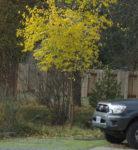 Osage Orange (Maclura pomifera) Tree, Organic
