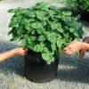 Patchouli, True (Pogostemon cablin) potted plant, organic ON SALE