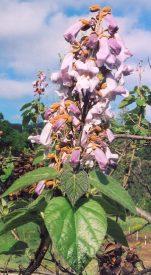 Empress Tree (Paulownia tomentosa) potted tree, [TN, AL, NC, CT no]