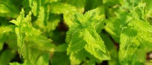 Mint, Peppermint (Mentha piperita) potted plant, organic